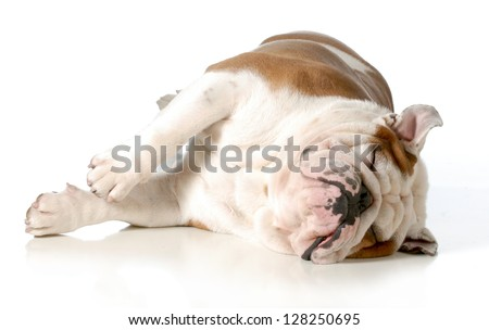 dog sleeping - english bulldog laying on side with eye closed isolated on white background