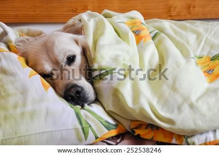 dog sleeps under the blanket - stock photo