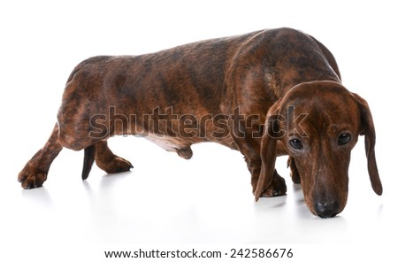 dog sniffing - dachshund sniffing the ground on white background - stock photo