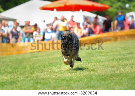 dog sport - down with recall - stock photo
