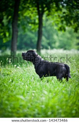 dog staff bul - stock photo