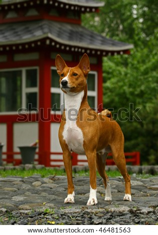 Dog standing on gravel against a pagoda - stock photo