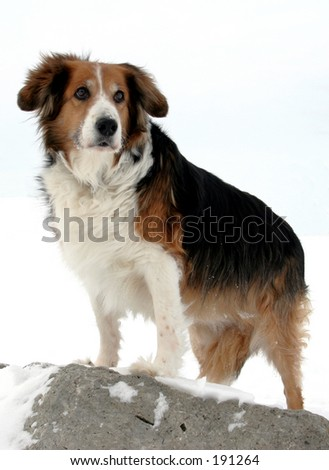 Dog standing on rock in winter.