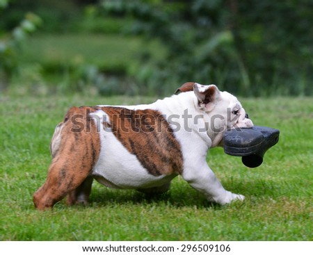 dog stealing shoe - four month old bulldog puppy - stock photo