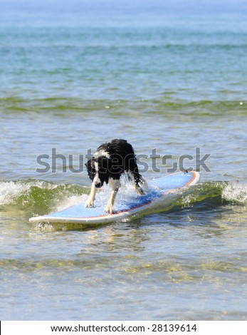 Dog surfing on longboard - stock photo