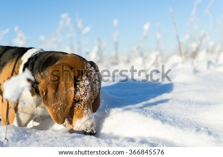 Dog take scent in the winter snowfield - stock photo