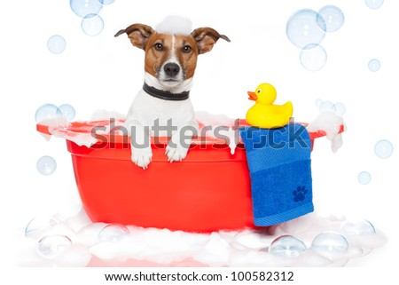 Dog taking a bath in a colorful bathtub with a plastic duck - stock photo