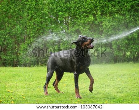 Dog taking a refreshing shower - stock photo