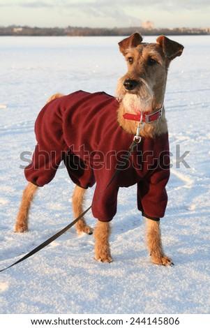 Dog the Irish terrier in the winter on walk  - stock photo