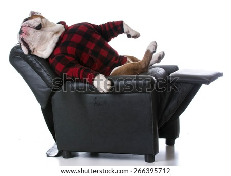 dog tired - bulldog stretched back resting in a recliner on white background - stock photo