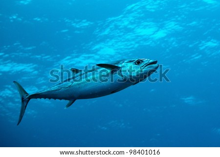 Dog-tooth tuna in water of Indian ocean, Maldives - stock photo