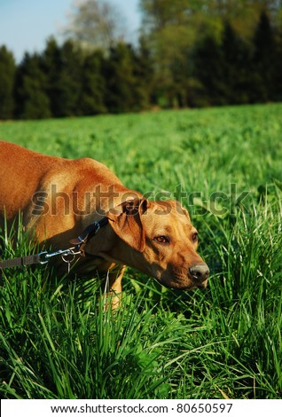 Dog tracking in grass field - stock photo