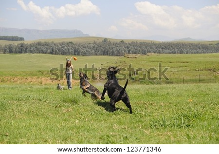 Dog Trainer working with Australian cattle dog and a cross Ridgeback/Retriever in farmlands, Kwazulu Natal, South Africa - stock photo