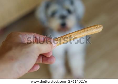 Dog training awaiting food reward - stock photo