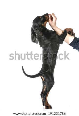 dog training - woman's hand feeding dog a treat while teaching it to stand on it's back legs - stock photo
