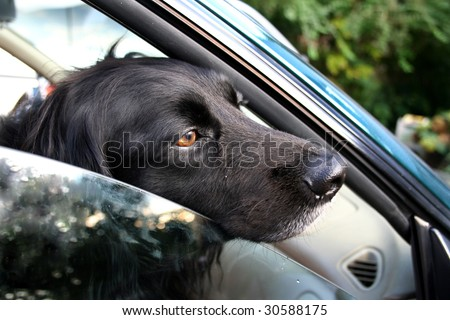 Dog waiting for a ride in the car