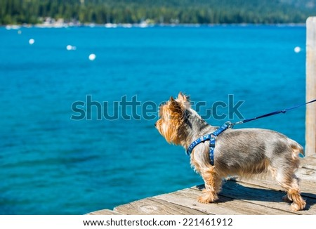 Dog Walk at the Lake. Lake Tahoe and Silky Terrier on Leash. - stock photo