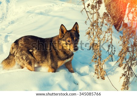 Dog walking in the snowy field - stock photo