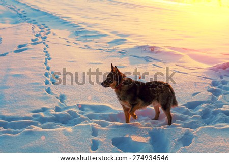 Dog walking on the snow at sunset - stock photo