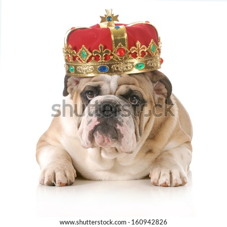 dog wearing crown - english bulldog wearing king's crown laying looking at viewer isolated on white background - stock photo