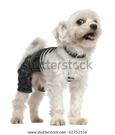 Dog wearing jeans ,4 years old, dressed up and standing in front of white background - stock photo