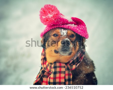 Dog wearing knitted hat with pompom and scarf walking outdoor in winter - stock photo
