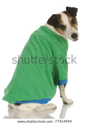 dog wearing sweater - jack russel terrier wearing green dog coat on white background - stock photo