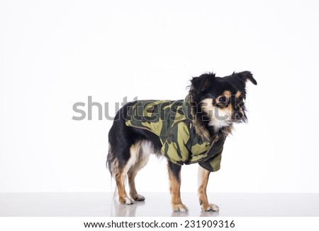 Dog wearing war clothes - stock photo