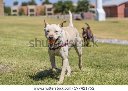 Dog with a ball being chased by a second dog in an outdoor park setting. - stock photo