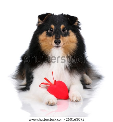dog with a red heart isolated on white - stock photo