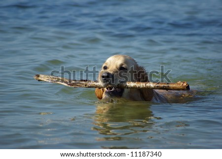 Dog with a stick - stock photo