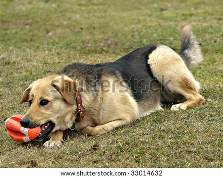 Dog with a toy rugby ball - stock photo