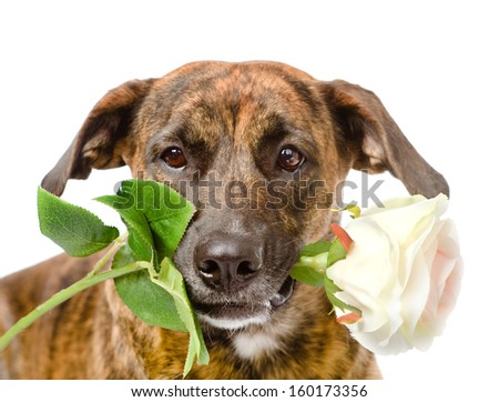 dog with a white rose. isolated on white background