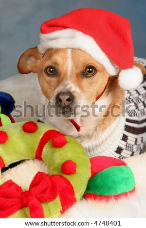 Dog with Christmas toys wearing a Santa Hat - stock photo