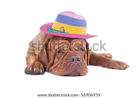 Dog with colorful hat dreaming of summer holiday isolated on white background - stock photo