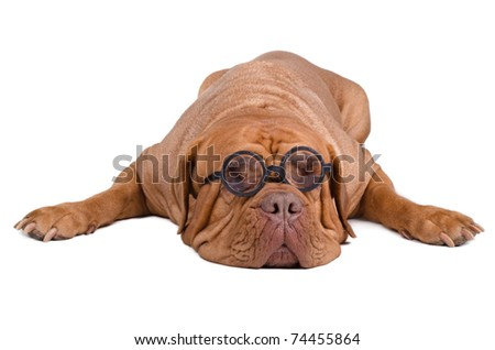 Dog with high diopter thick glasses isolated on white background - stock photo