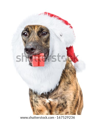 dog with red christmas Santa hat and gift box. isolated on white background - stock photo