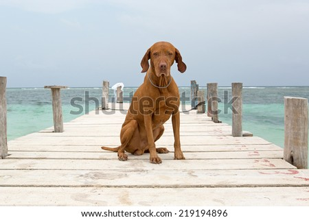 dog with sand on him sitting on pier in Quintana Roo, Mayan Riviera,Mexico - stock photo
