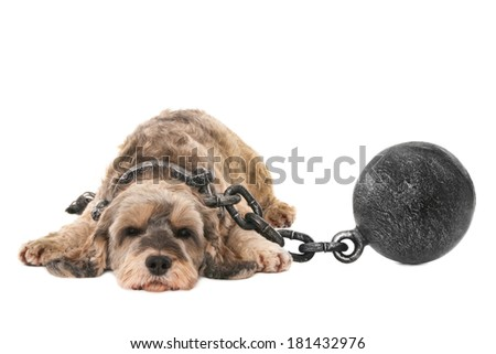 Dog with shackles, isolated on white - stock photo