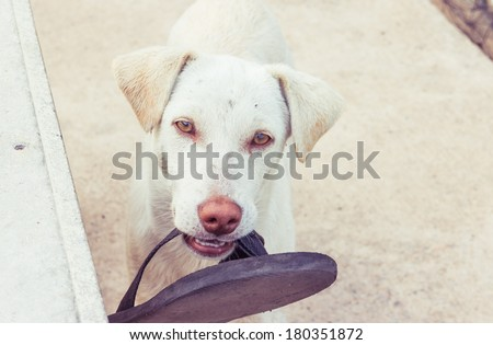 dog with shoe on mouth  - stock photo
