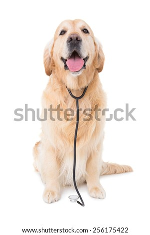 Dog with stethoscope looking at camera in white background
