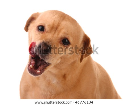 Dog with Tongue out - stock photo
