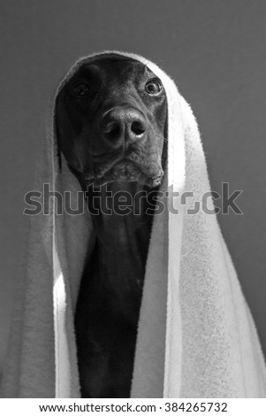 dog with towel over head great for a bathroom in black and white - stock photo