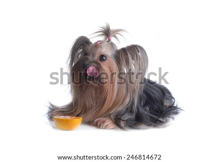 Dog yorkshire terrier isolated on white