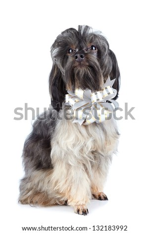 Doggie with a bow. Small doggie. Decorative thoroughbred dog. Puppy of the Petersburg orchid. Shaggy doggie.