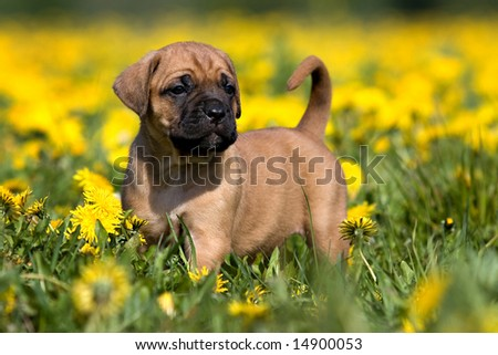 Dogo Canario puppy in yellow dandelions - stock photo