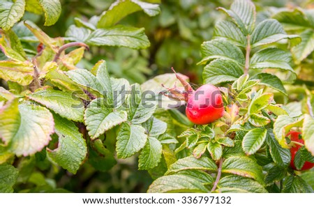 Dogrose bush with red fruits - stock photo