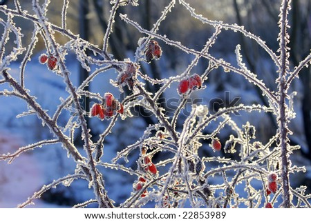 Dogrose in the winter - stock photo