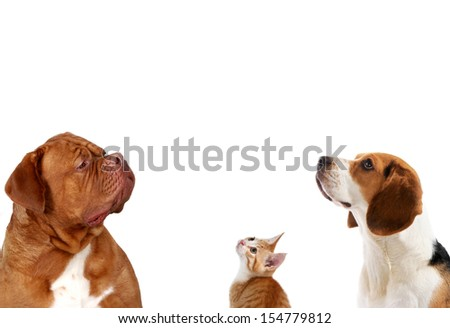 Dogs and Kitten looking up, Head shots. Dogue de Bordeaux Beagle and mixed Kitten. - stock photo