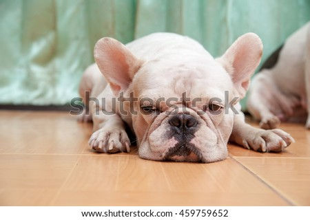 Dogs French Bulldogs /Focus selection